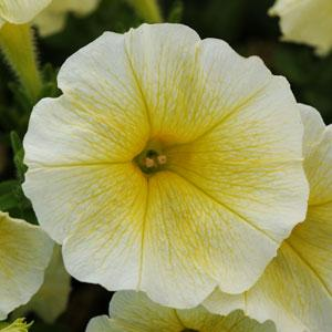 Wave Yellow Wave Petunia Jumbo 6 pack (reg. 19.99)